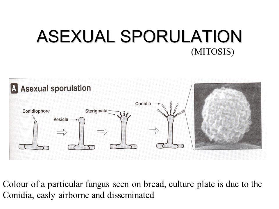 ASEXUAL SPORULATION (MITOSIS)