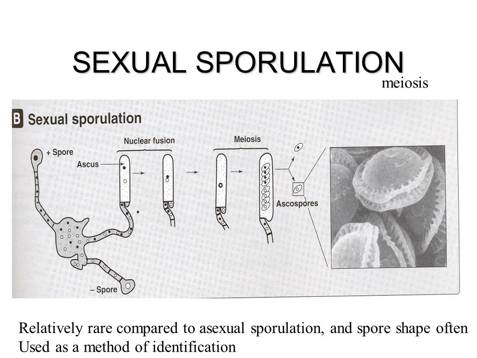SEXUAL SPORULATION meiosis