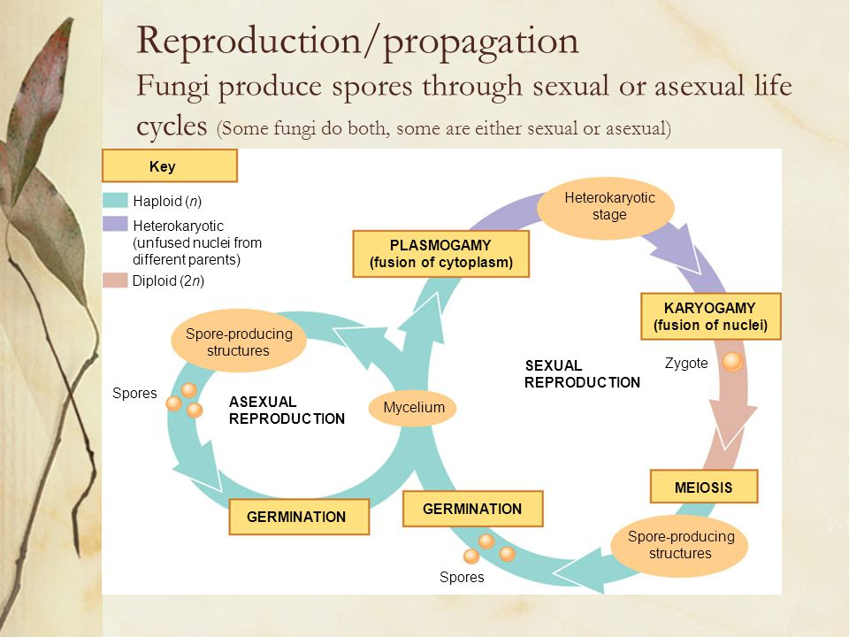 Reproduction/propagation Fungi produce spores through sexual or asexual life cycles (Some fungi do both, some are either sexual or asexual)