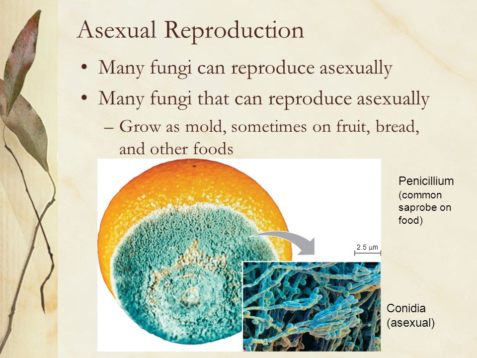Asexual Reproduction Many fungi can reproduce asexually
