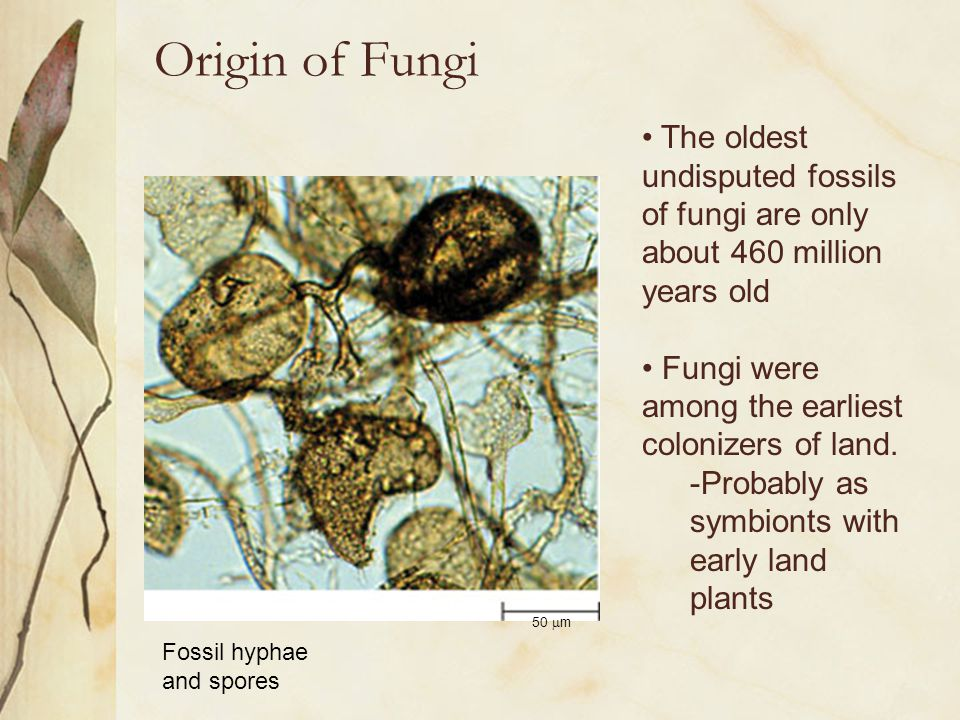 Origin of Fungi The oldest undisputed fossils of fungi are only about 460 million years old. Fungi were among the earliest colonizers of land.