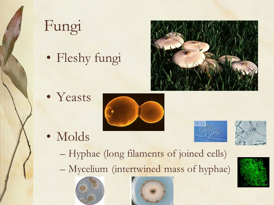 Fungi Fleshy fungi Yeasts Molds
