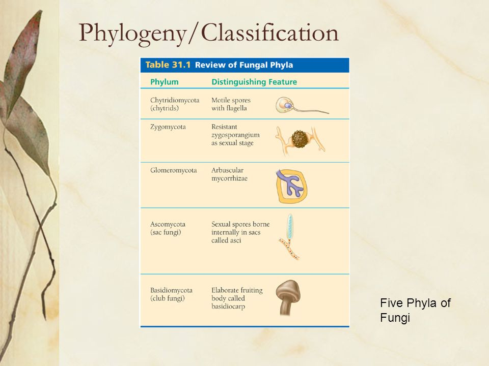 Phylogeny/Classification