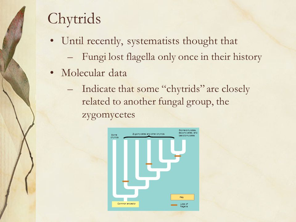 Zygomycetes and other chytrids
