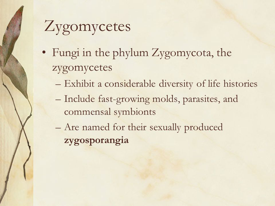Zygomycetes Fungi in the phylum Zygomycota, the zygomycetes