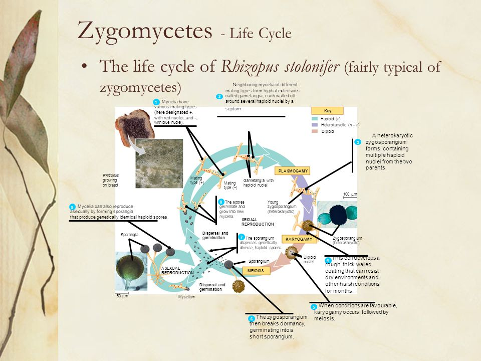 Zygomycetes - Life Cycle