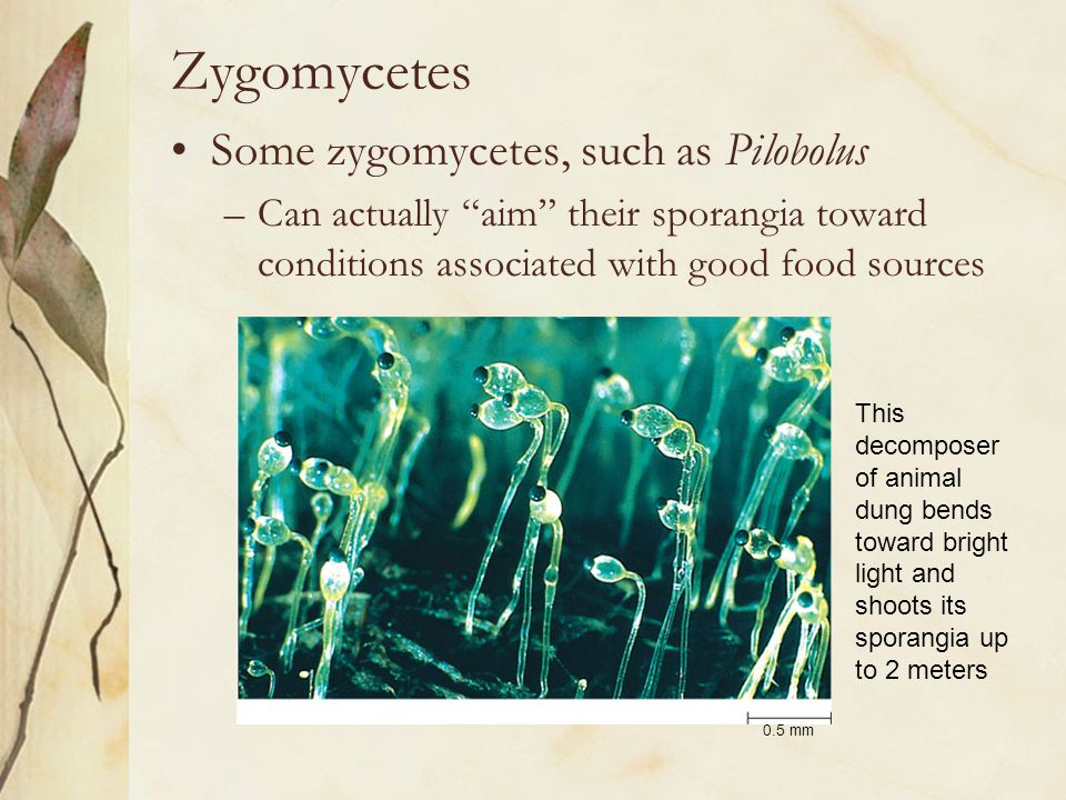 Zygomycetes Some zygomycetes, such as Pilobolus