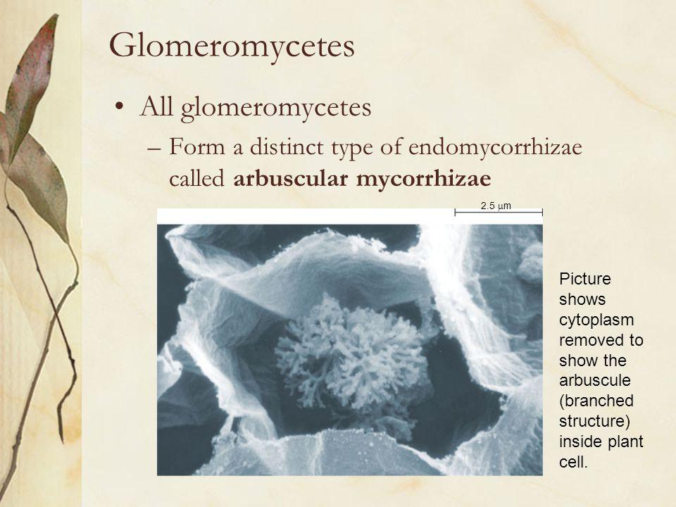 Glomeromycetes All glomeromycetes