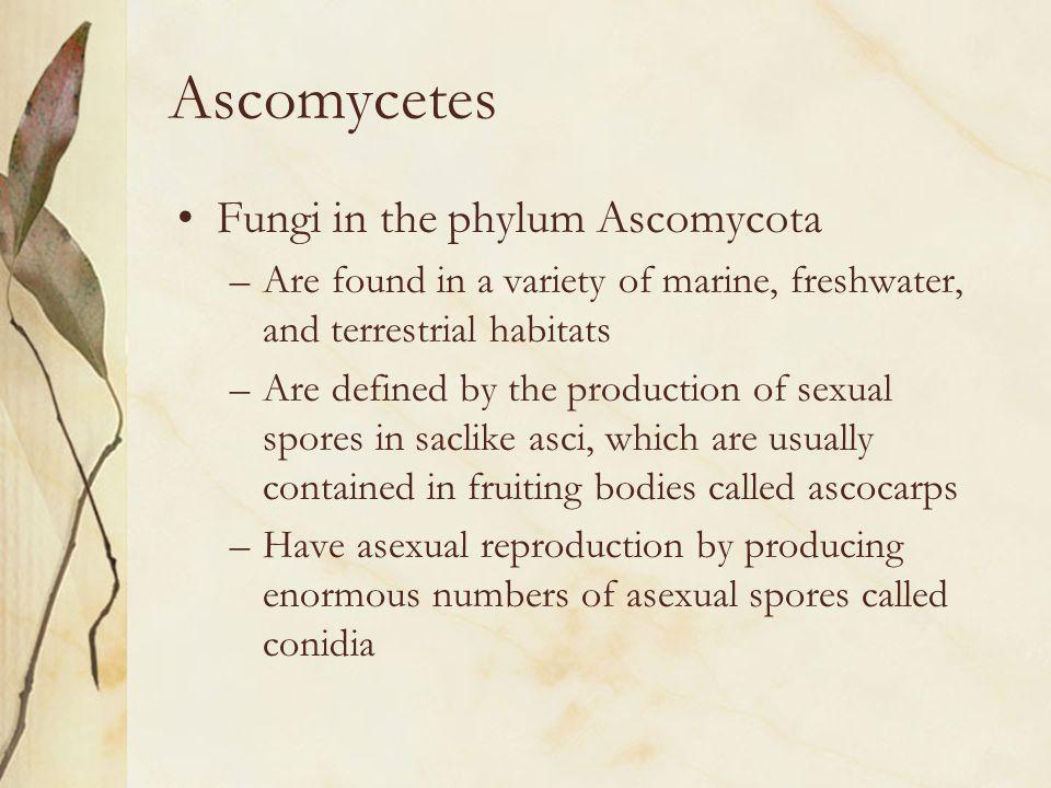 Ascomycetes Fungi in the phylum Ascomycota