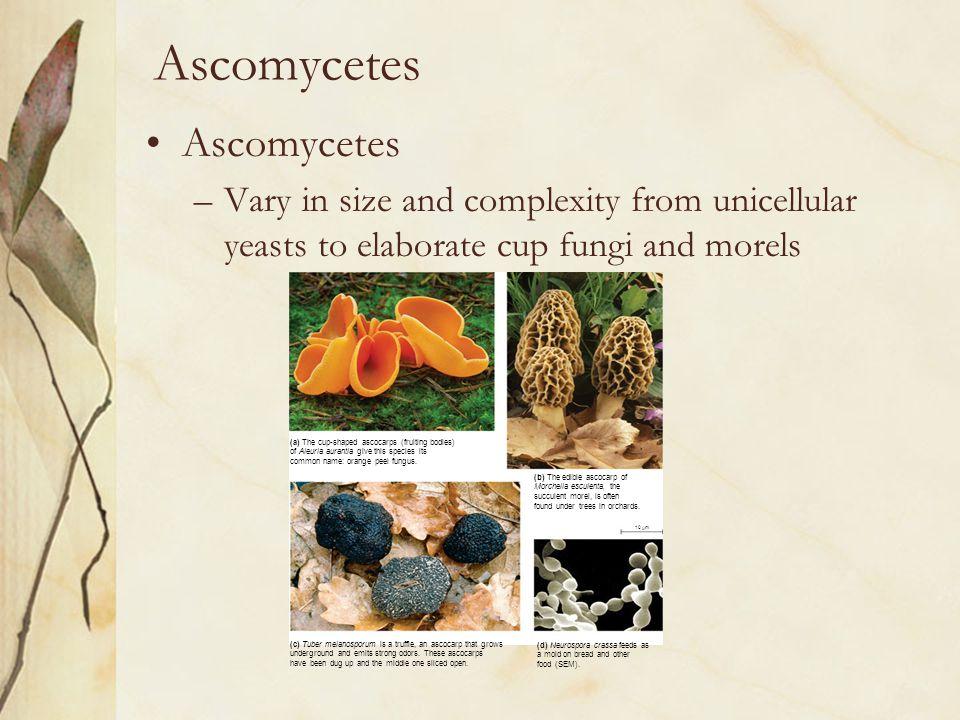 Ascomycetes Ascomycetes