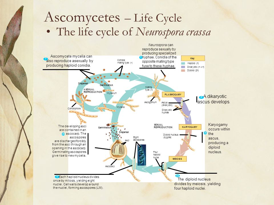 Ascomycetes – Life Cycle