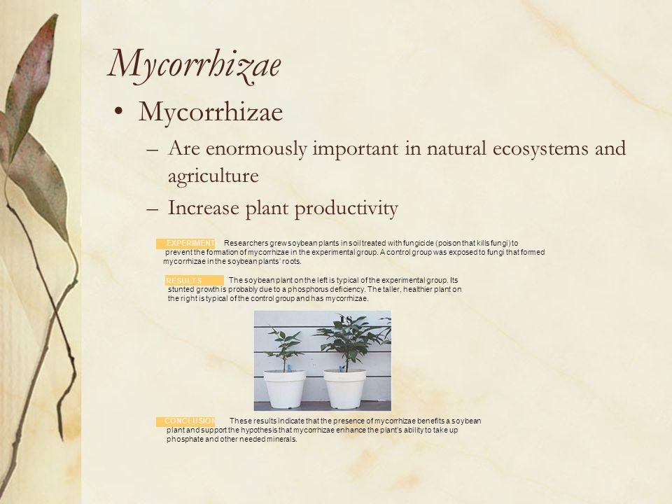 Mycorrhizae Mycorrhizae