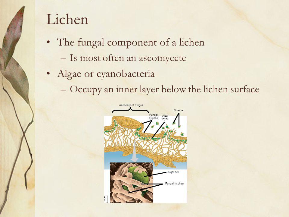 Lichen The fungal component of a lichen Algae or cyanobacteria