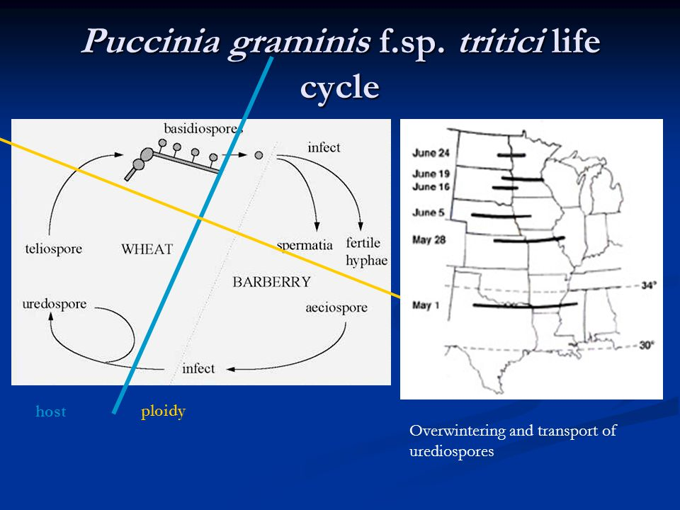 Puccinia graminis f.sp. tritici life cycle