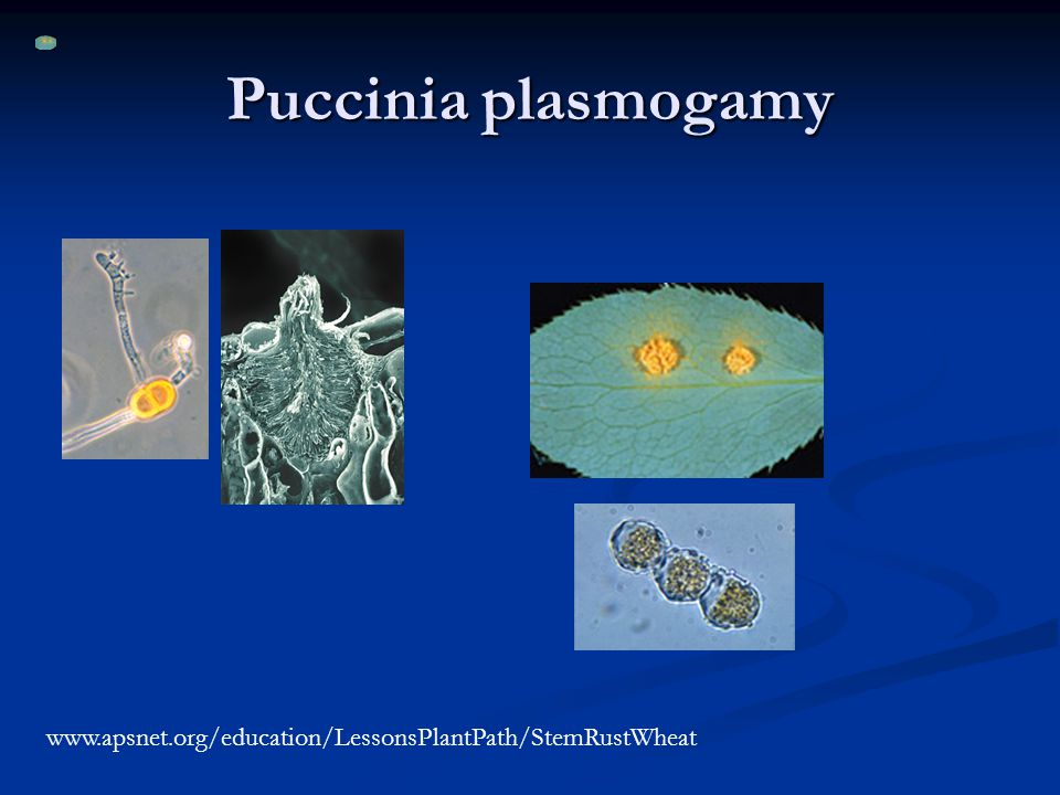 Puccinia plasmogamy www.apsnet.org/education/LessonsPlantPath/StemRustWheat