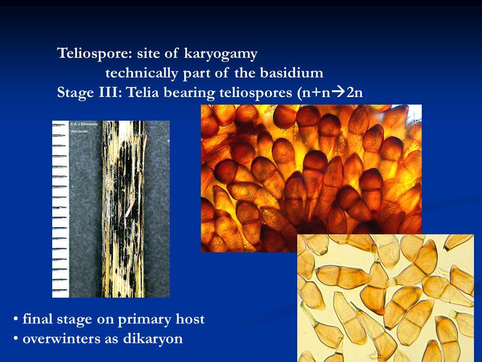 Teliospore: site of karyogamy
