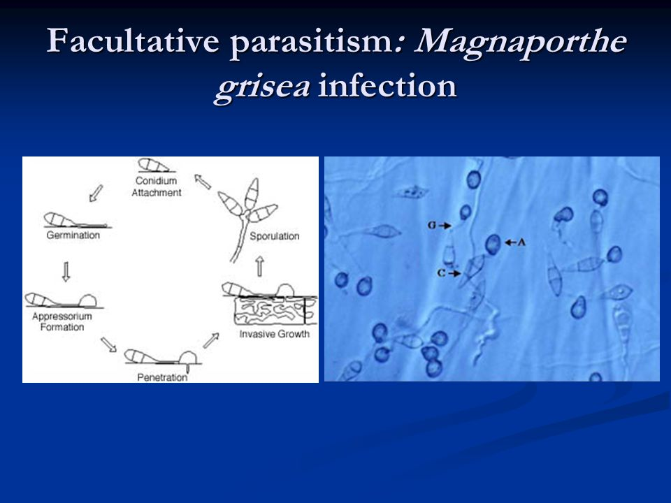 Facultative parasitism: Magnaporthe grisea infection