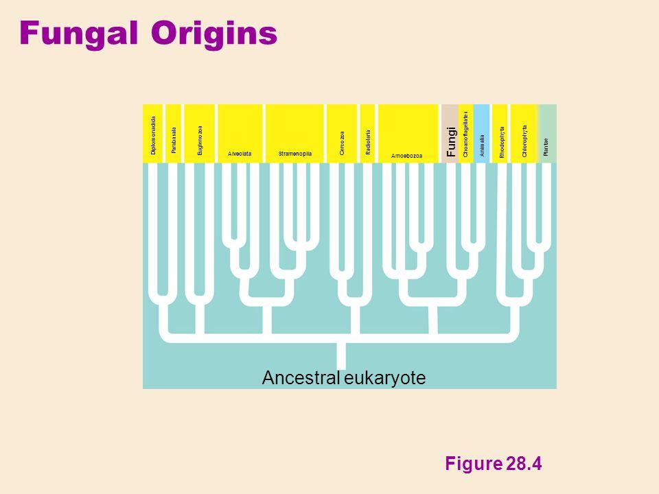 Fungal Origins Ancestral eukaryote Figure 28.4 Fungi