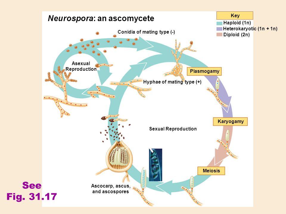 Ascocarp, ascus, and ascospores