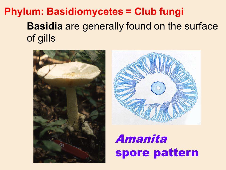 Amanita spore pattern Phylum: Basidiomycetes = Club fungi