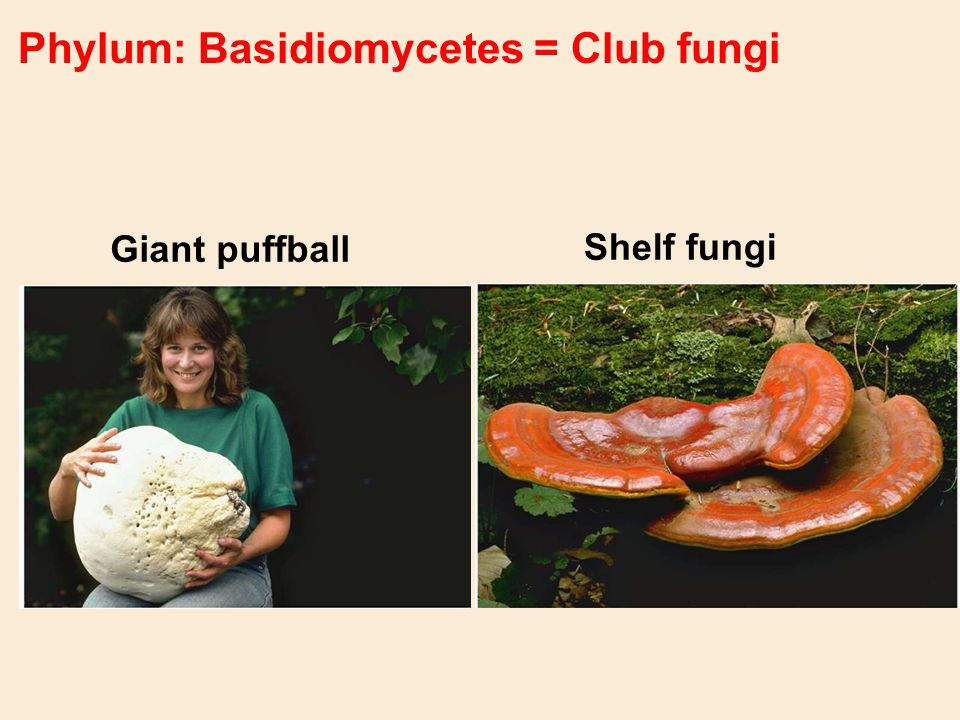 Phylum: Basidiomycetes = Club fungi