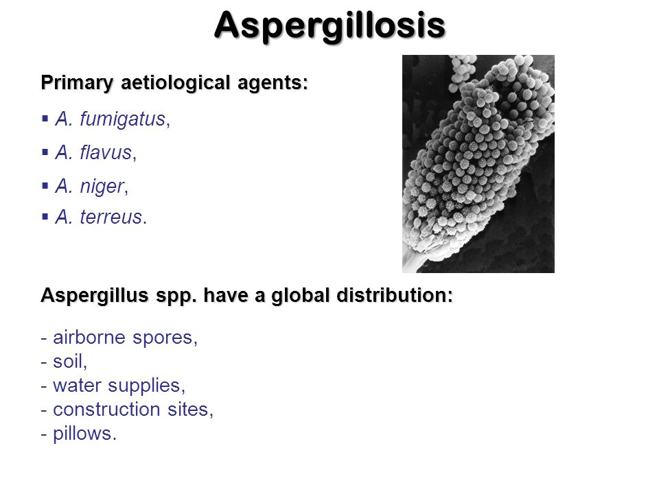 Aspergillosis Primary aetiological agents: A. fumigatus, A. flavus,