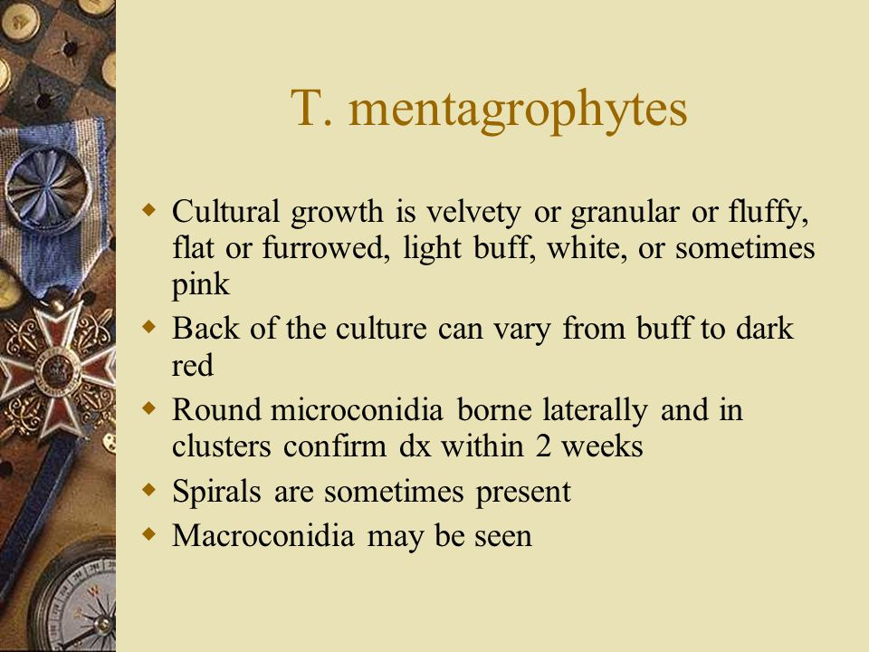 T. mentagrophytes Cultural growth is velvety or granular or fluffy, flat or furrowed, light buff, white, or sometimes pink.