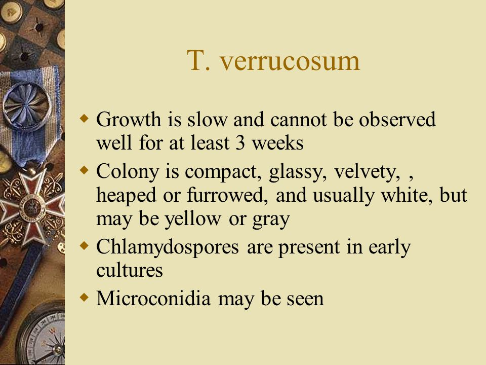 T. verrucosum Growth is slow and cannot be observed well for at least 3 weeks.