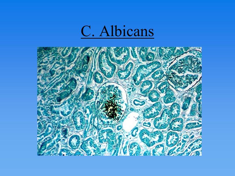 C. Albicans