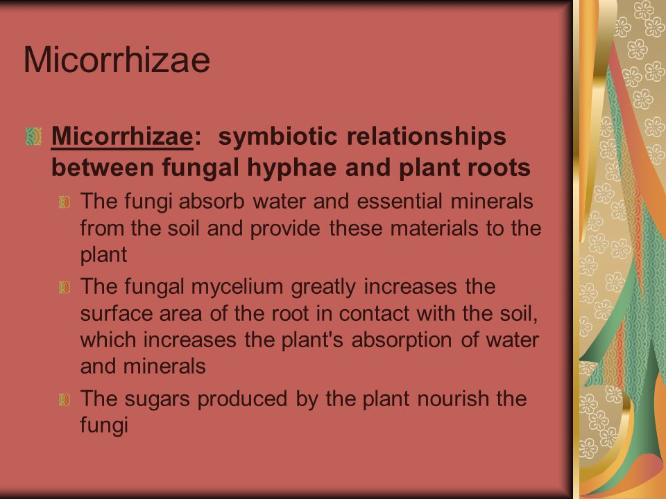 Micorrhizae Micorrhizae: symbiotic relationships between fungal hyphae and plant roots.