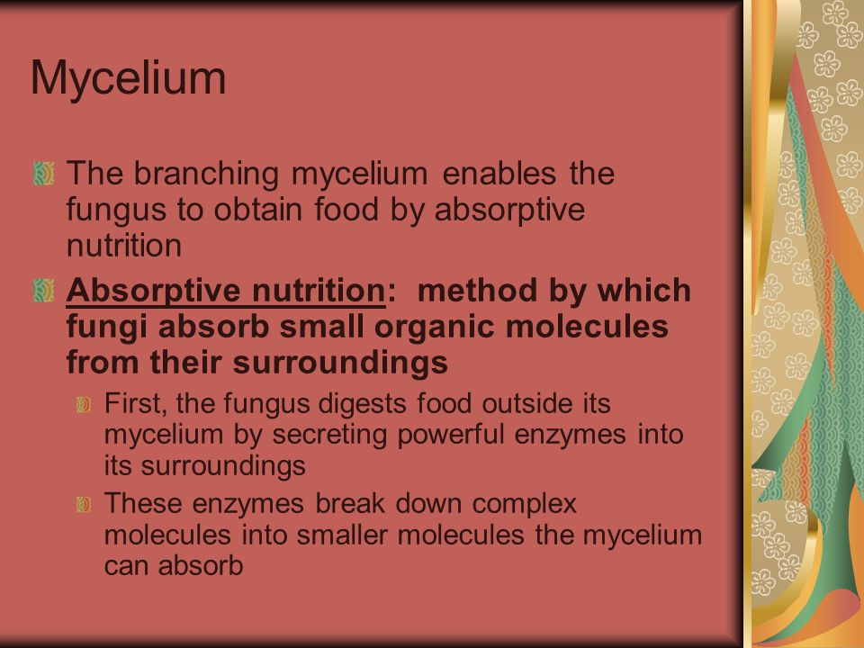 Mycelium The branching mycelium enables the fungus to obtain food by absorptive nutrition.