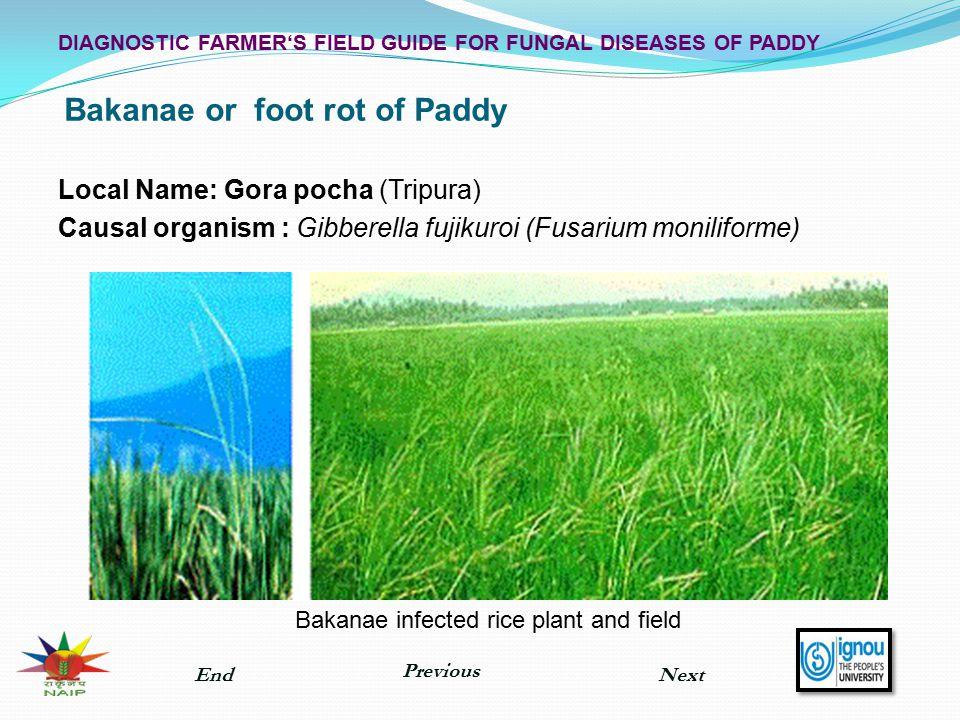 Bakanae or foot rot of Paddy