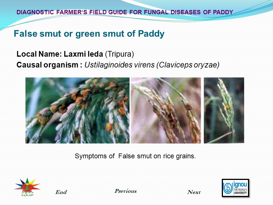 False smut or green smut of Paddy