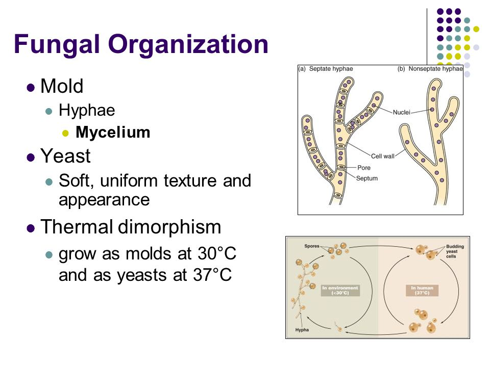 Fungal Organization Mold Yeast Thermal dimorphism