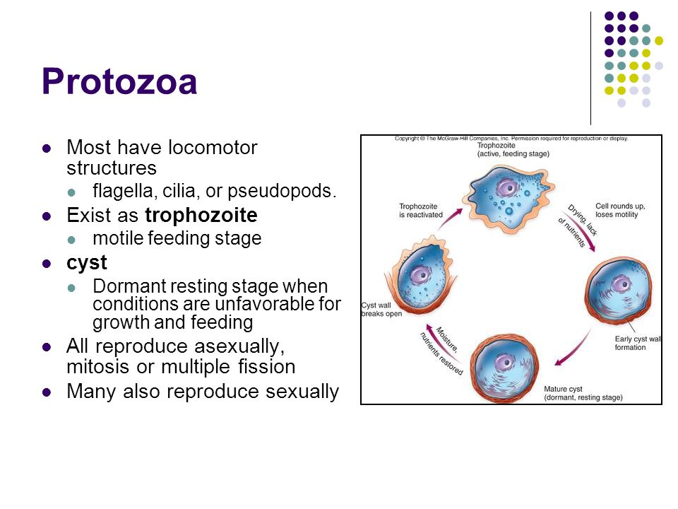Protozoa Most have locomotor structures Exist as trophozoite cyst