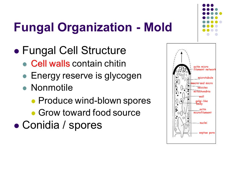 Fungal Organization - Mold