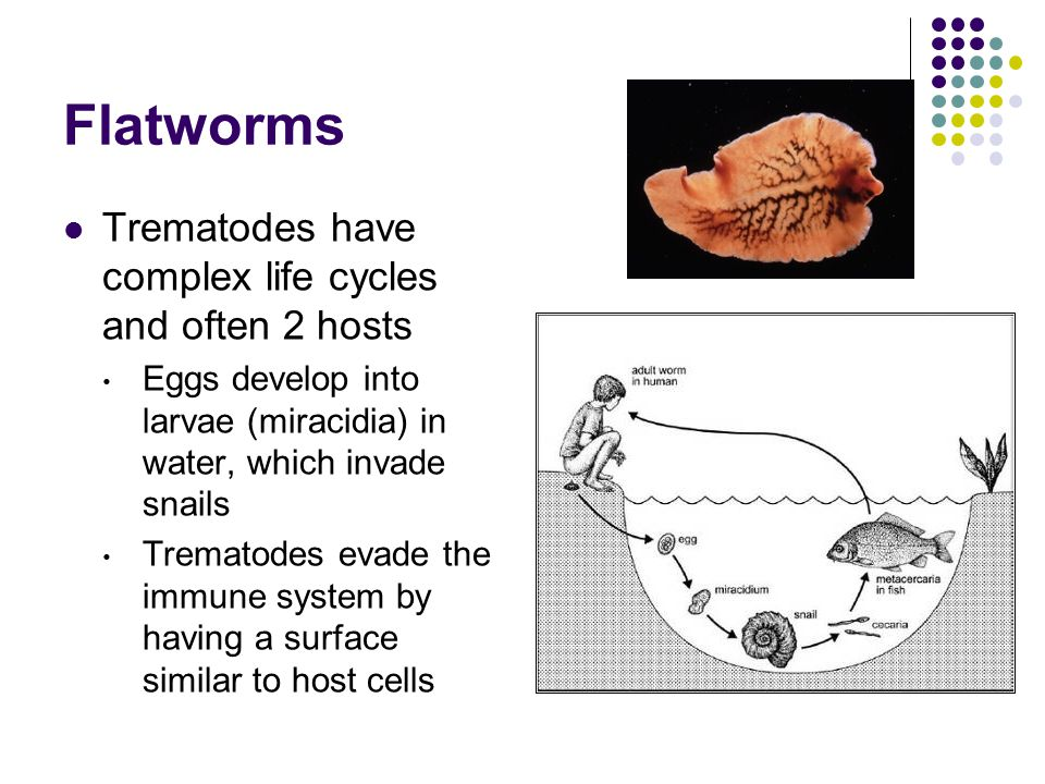 Flatworms Trematodes have complex life cycles and often 2 hosts