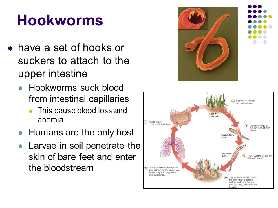 Hookworms have a set of hooks or suckers to attach to the upper intestine. Hookworms suck blood from intestinal capillaries.