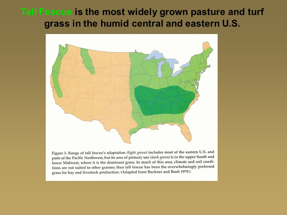 Tall Fescue is the most widely grown pasture and turf grass in the humid central and eastern U.S.
