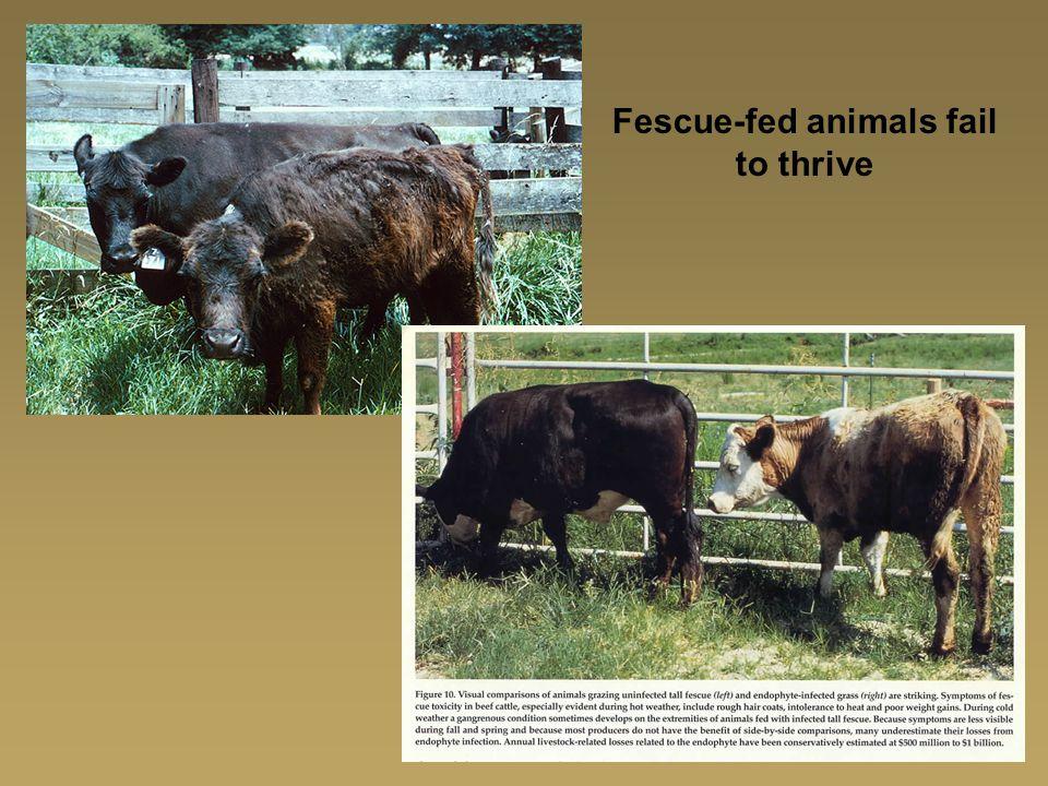 Fescue-fed animals fail to thrive