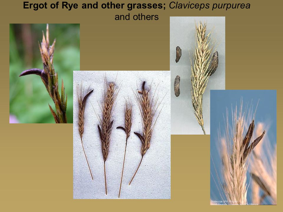 Ergot of Rye and other grasses; Claviceps purpurea and others