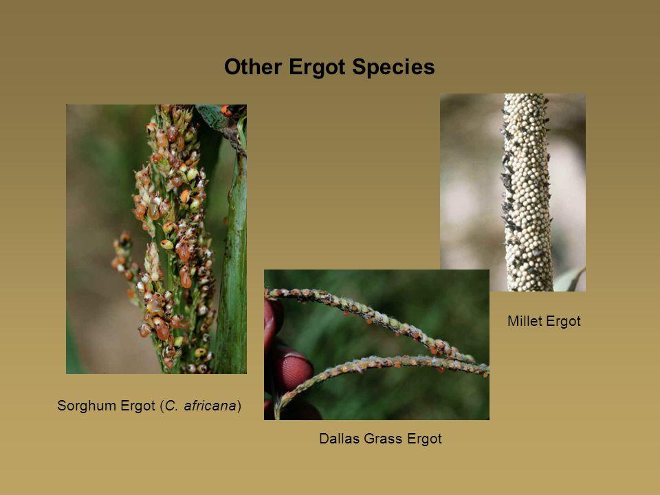 Other Ergot Species Millet Ergot Sorghum Ergot (C. africana)