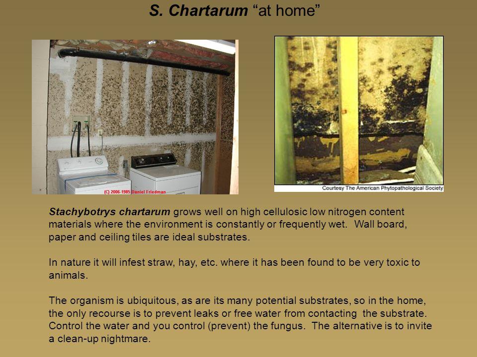 S. Chartarum at home