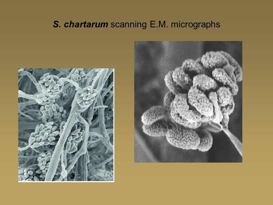 S. chartarum scanning E.M. micrographs