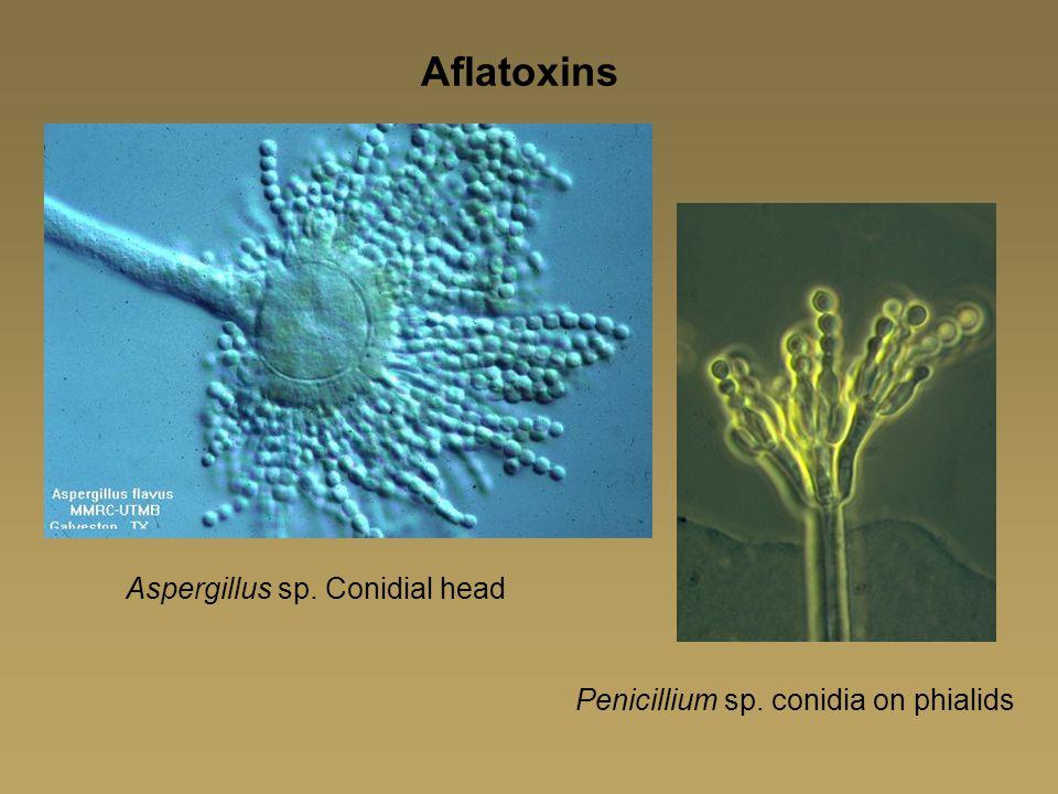 Aflatoxins Aspergillus sp. Conidial head
