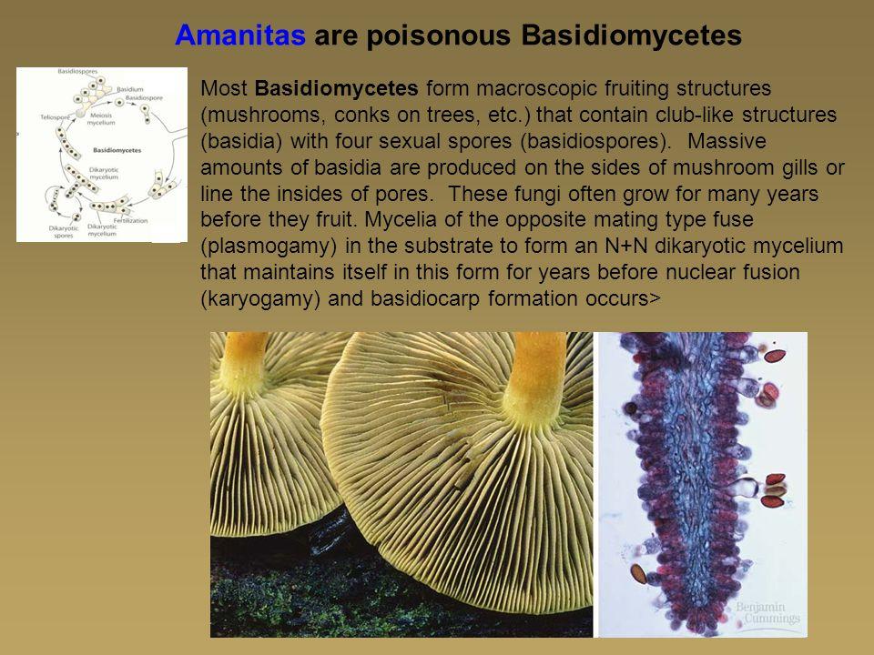 Amanitas are poisonous Basidiomycetes