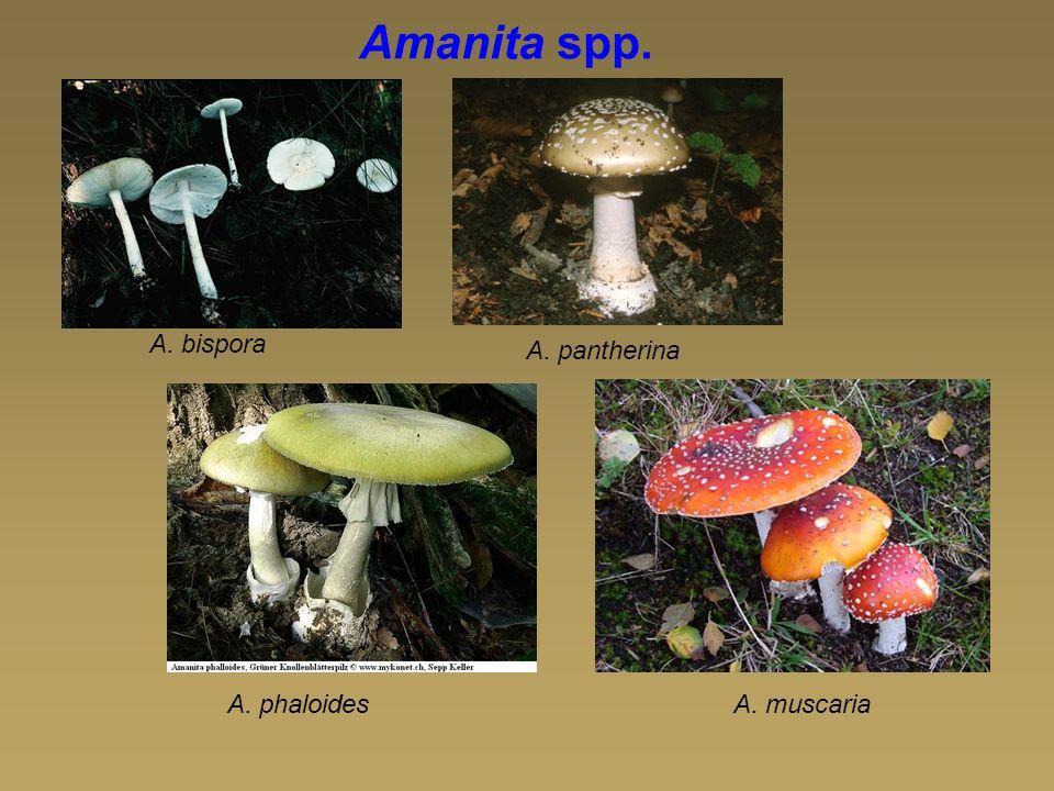 Amanita spp. A. bispora A. pantherina A. phaloides A. muscaria