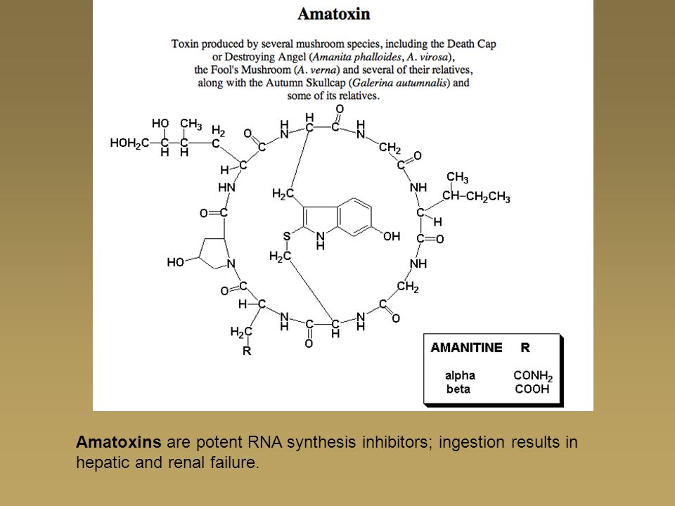 Amatoxins are potent RNA synthesis inhibitors; ingestion results in hepatic and renal failure.