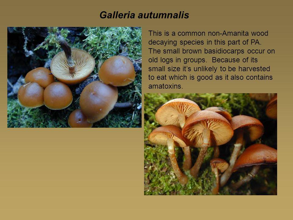 Galleria autumnalis
