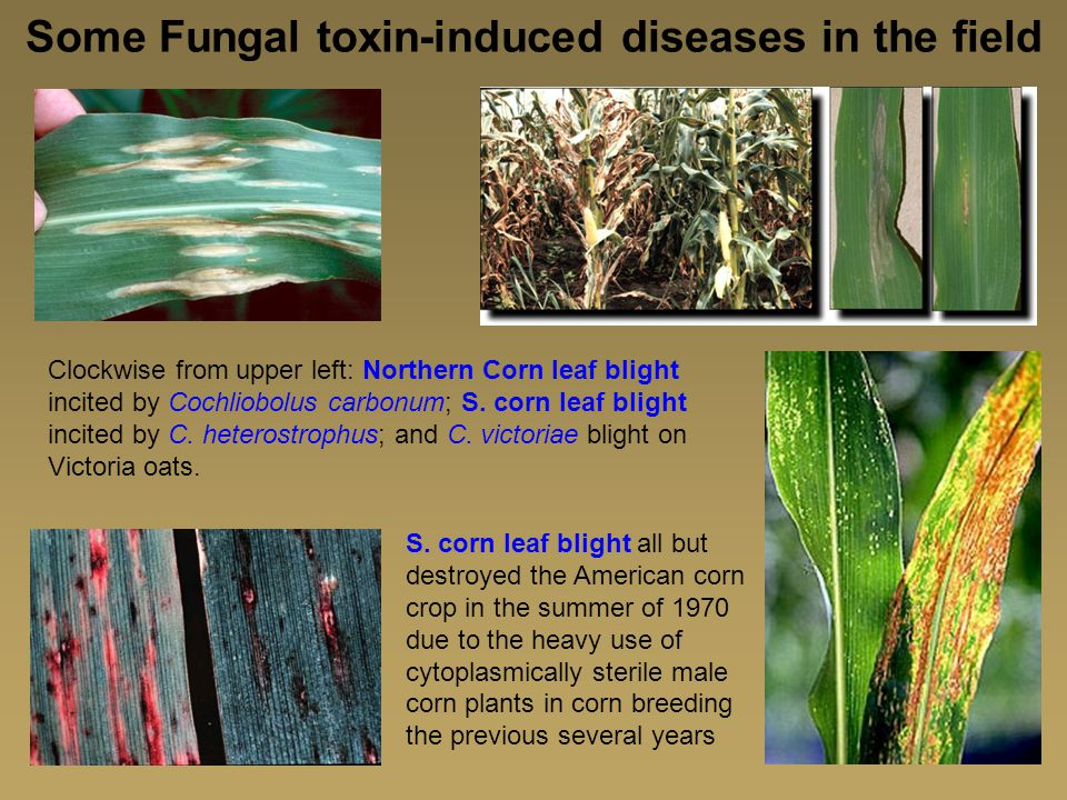 Some Fungal toxin-induced diseases in the field